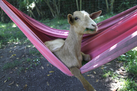 Robert Prat Goat Relax Time 00000365