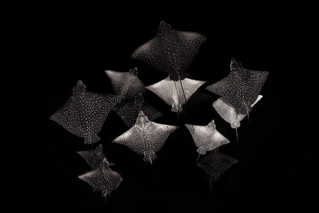 Npoty Photo Contest 2020 Constellation Of Eagle Rays Henley Spiers Winner C9 Black And White