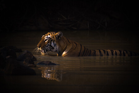Gold C Nick Dale Bengal Tiger With Catchlight In Water Hole
