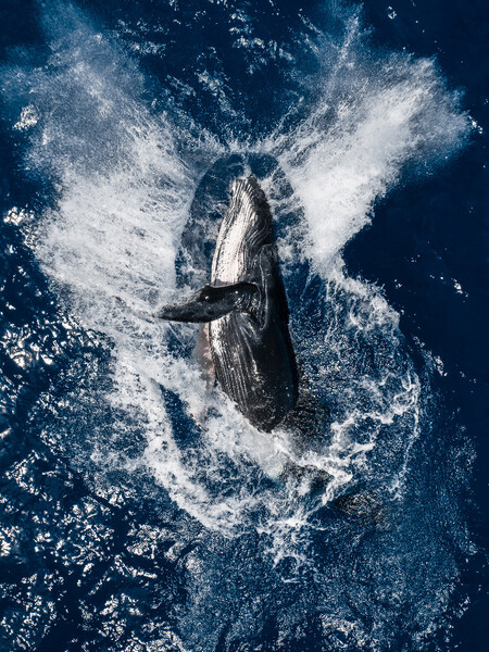 Skypixel 6th Anniversary Contest Annual Photo Award Humpback Breach